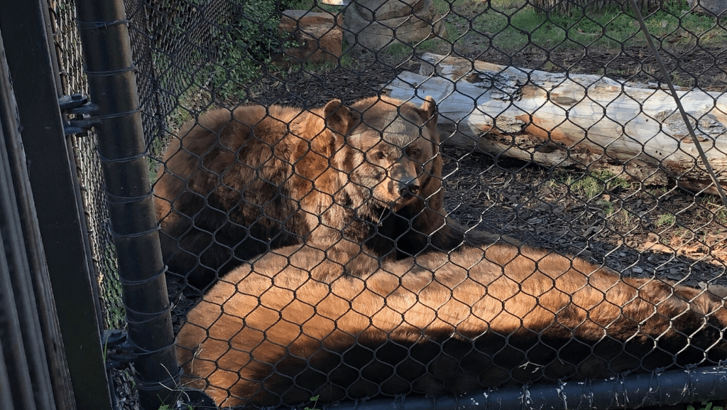 baylor bear habitat